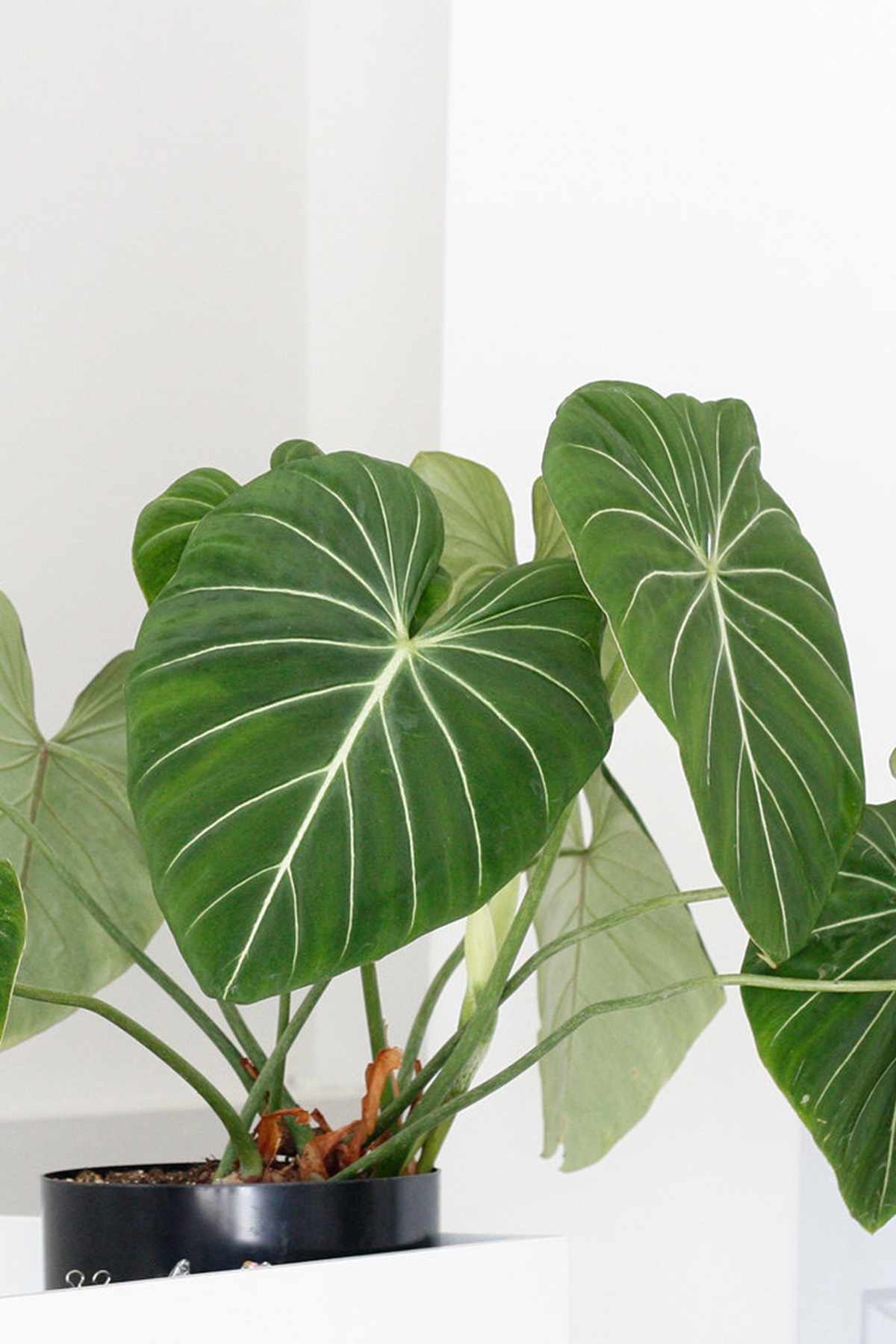 7 Heart Shaped Plants Perfect For Valentine S Day Ctrl